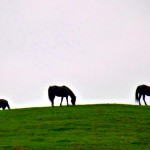 Waiheke island horses, not wild but still majetic